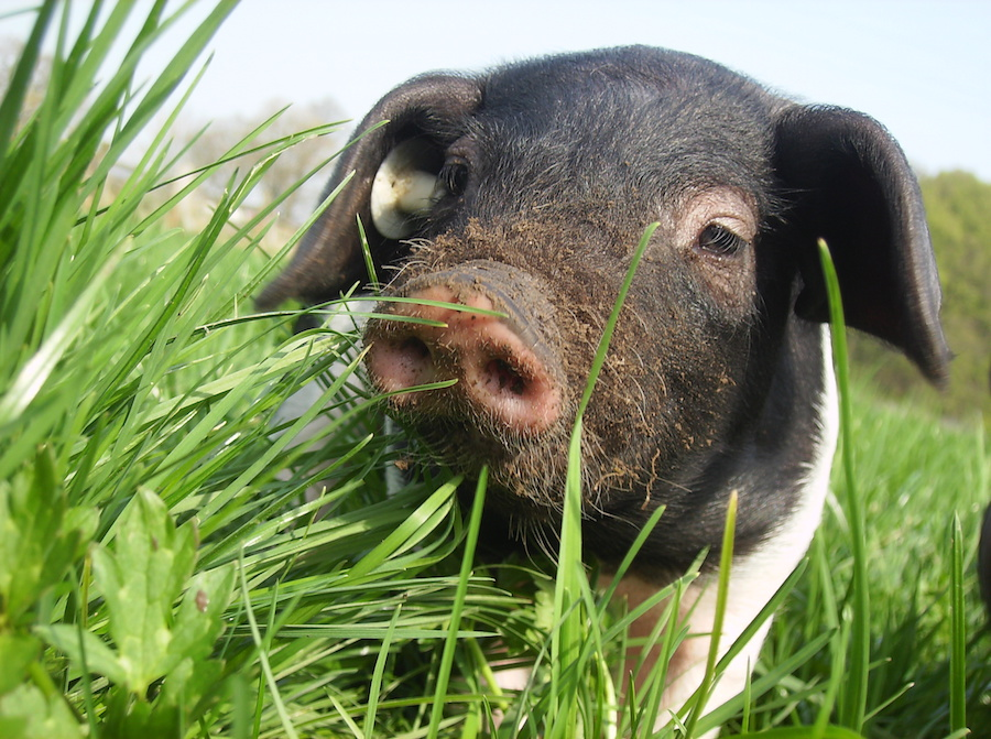This happy young Schwäbisch-Hällische pig represents a medium to large size breed that is black on the head and rear, white in the middle and on the legs, and has narrow grey bands that transition on the body between the white and black skin. It shows the typically large lop ears but not yet the wrinkled brow common to its mixed heritage with Chinese pigs.Generations of Photographer Matthias Peig's family have raised these pigs in Schwäbisch Hall in Baden-Württemberg since 1758. It is the oldest autochthonous pig breed in Germany, and because of Peig's grandfather, it survived World War II into the present day. More may be learned from Peig's websites athttps://www.hofladen-bega.de/or https://de-de.facebook.com/hofladen.bega